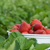 Carlsbad Strawberry Co.