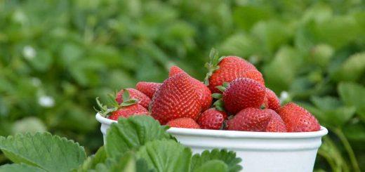 Carlsbad Strawberry Co.