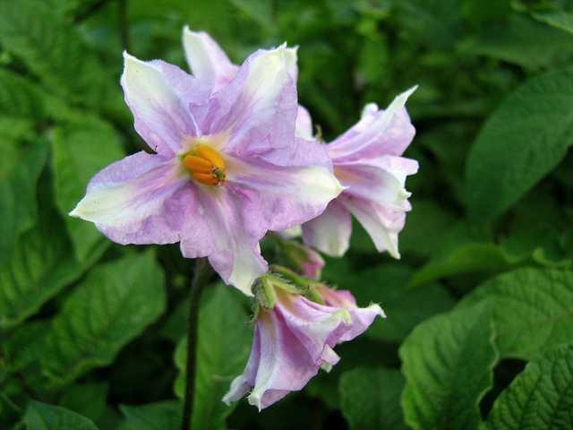 Potatoe Flowers